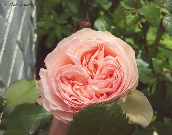 Aventsemant.C'est en croyant aux roses.